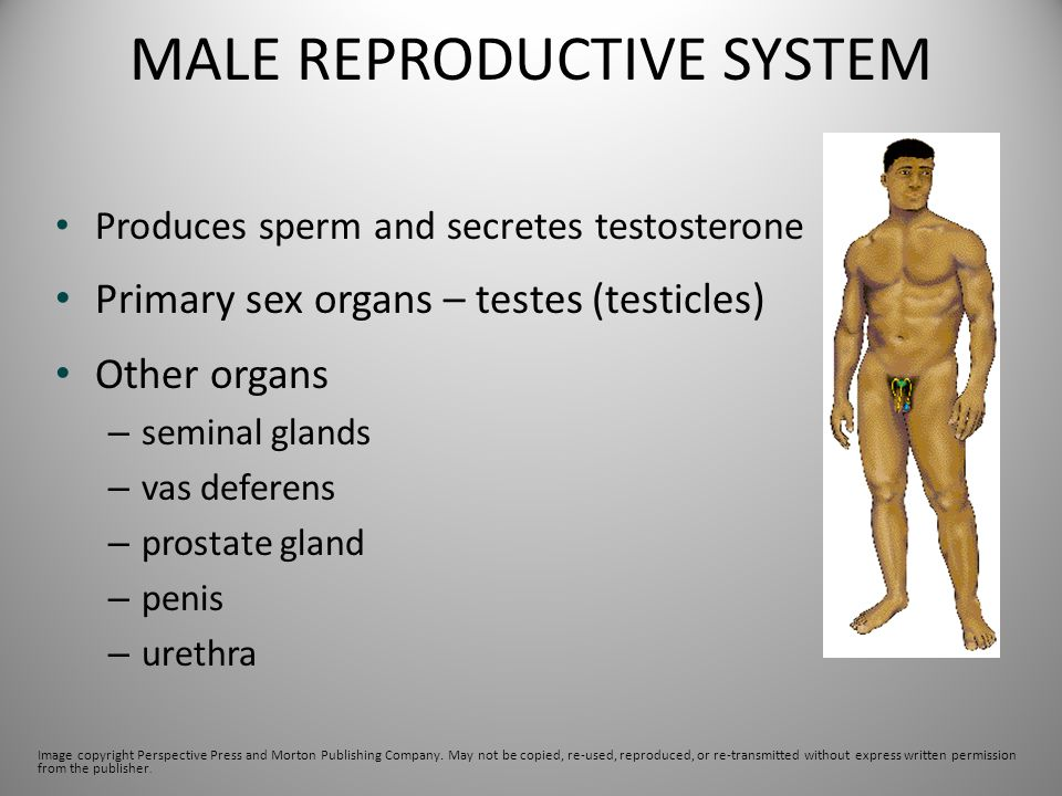 MALE REPRODUCTIVE SYSTEM Produces sperm and secretes testosterone Primary sex organs – testes (testicles) Other organs – seminal glands – vas deferens