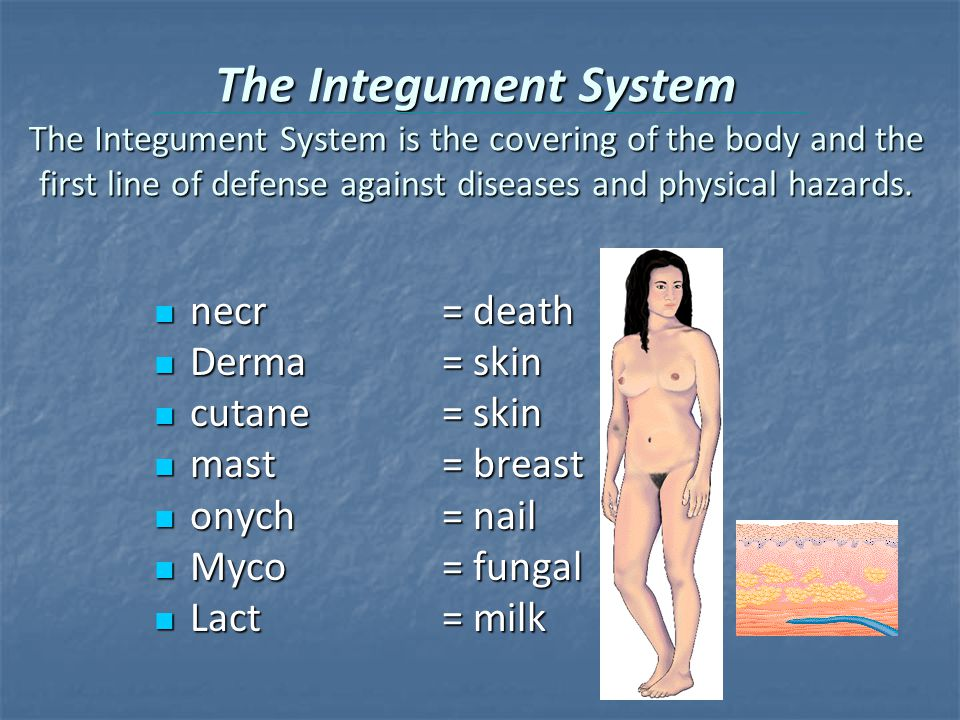 The Integument System The Integument System is the covering of the body and the first line of defense against diseases and physical hazards.