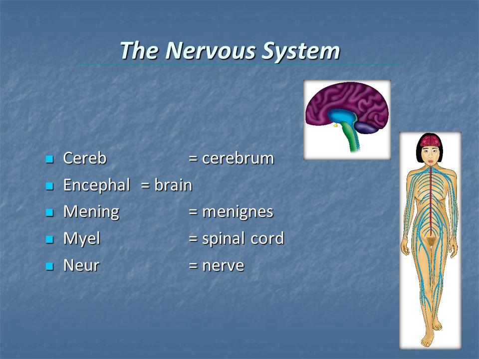 The Nervous System Cereb= cerebrum Cereb= cerebrum Encephal= brain Encephal= brain Mening= menignes Mening= menignes Myel= spinal cord Myel= spinal cord Neur= nerve Neur= nerve