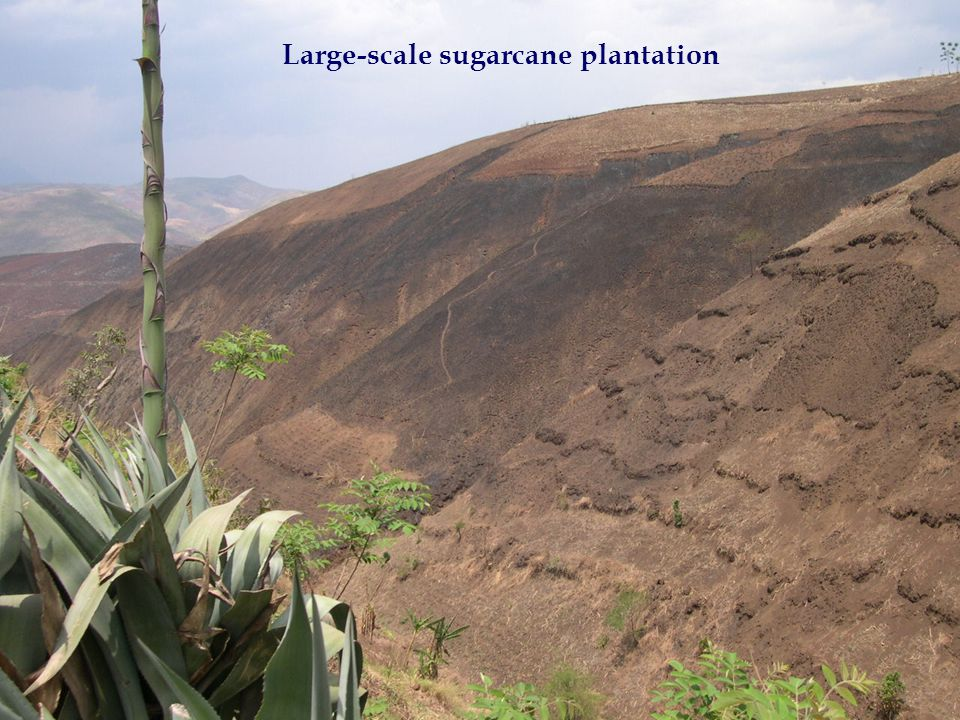 Large-scale sugarcane plantation