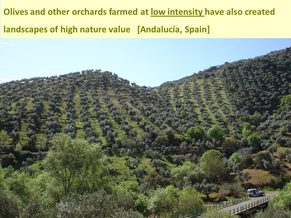 Olives and other orchards farmed at low intensity have also created landscapes of high nature value [Andalucía, Spain]