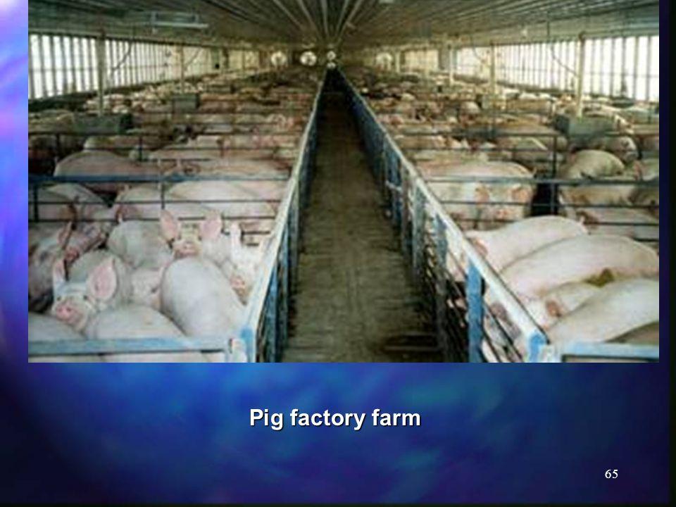 65 Pig factory farm
