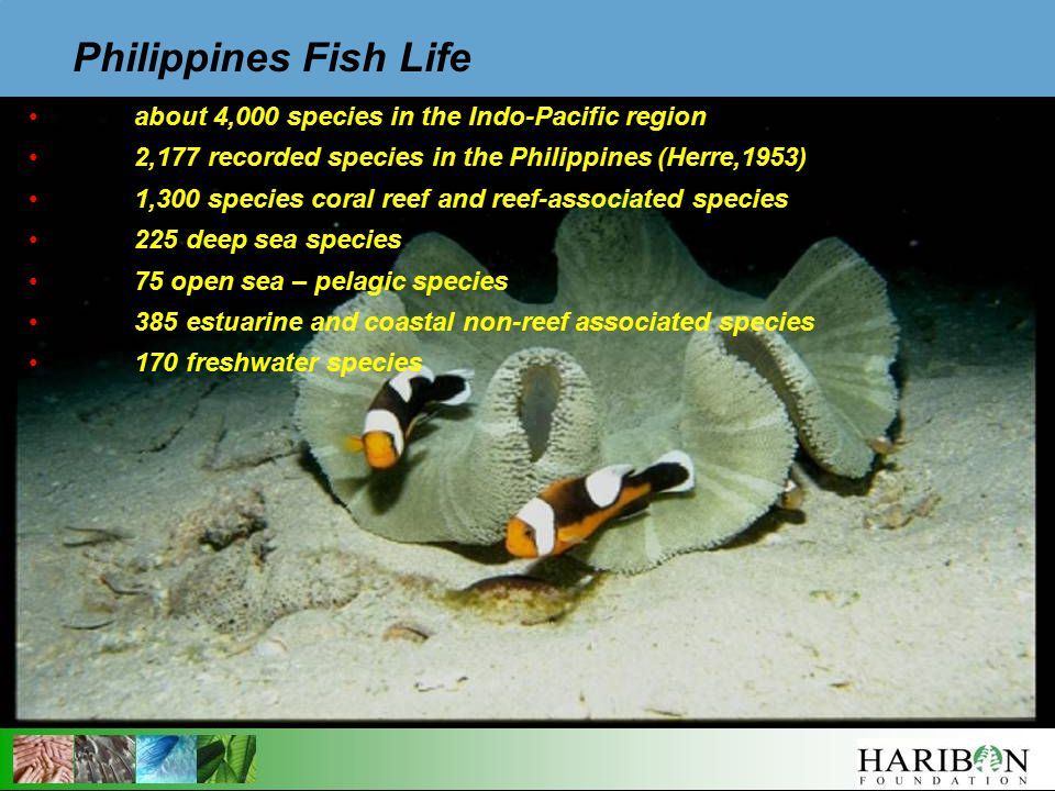 about 4,000 species in the Indo-Pacific region 2,177 recorded species in the Philippines (Herre,1953) 1,300 species coral reef and reef-associated species 225 deep sea species 75 open sea – pelagic species 385 estuarine and coastal non-reef associated species 170 freshwater species Philippines Fish Life