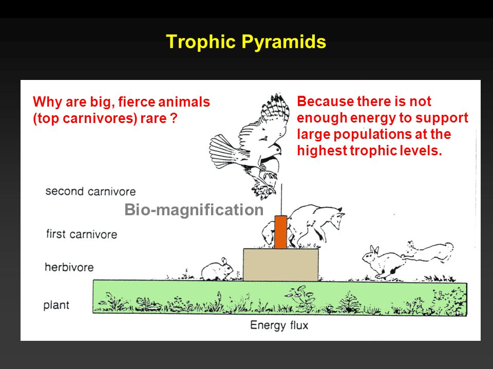 Trophic Pyramids Why are big, fierce animals (top carnivores) rare ? Because there is not enough energy to support large populations at the highest tr