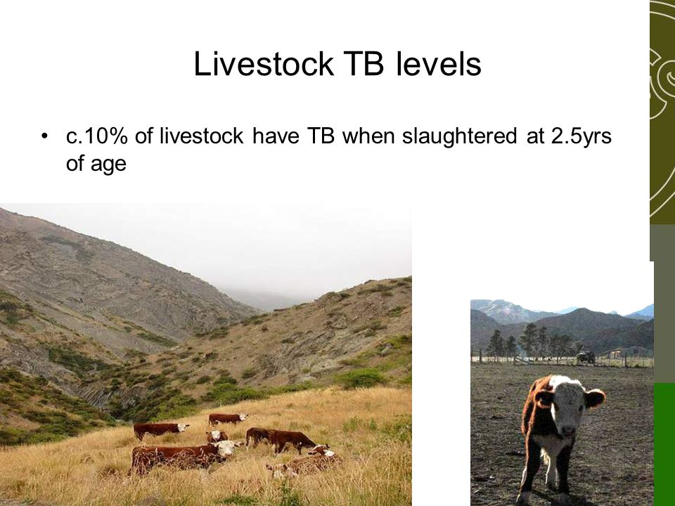 Livestock TB levels c.10% of livestock have TB when slaughtered at 2.5yrs of age