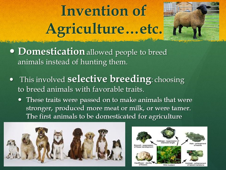Invention of Agriculture…etc. Domestication allowed people to breed animals instead of hunting them. Domestication allowed people to breed animals ins