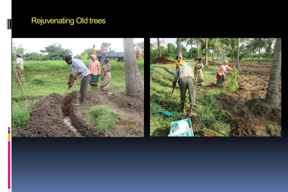 Rejuvenating Old trees