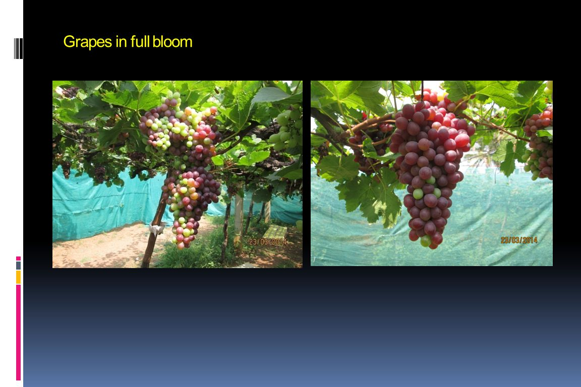 Grapes in full bloom
