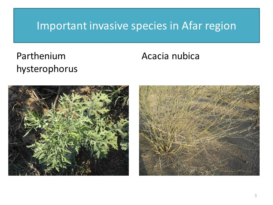 Important invasive species in Afar region Parthenium hysterophorus Acacia nubica 3