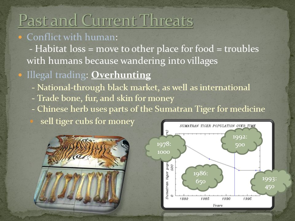 Conflict with human: - Habitat loss = move to other place for food = troubles with humans because wandering into villages Illegal trading: Overhunting - National-through black market, as well as international - Trade bone, fur, and skin for money - Chinese herb uses parts of the Sumatran Tiger for medicine sell tiger cubs for money 1978: 1000 1986: 650 1992: 500 1993: 450