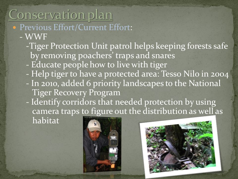 Previous Effort/Current Effort: - WWF -Tiger Protection Unit patrol helps keeping forests safe by removing poachers' traps and snares - Educate people how to live with tiger - Help tiger to have a protected area: Tesso Nilo in 2004 - In 201o, added 6 priority landscapes to the National Tiger Recovery Program - Identify corridors that needed protection by using camera traps to figure out the distribution as well as habitat