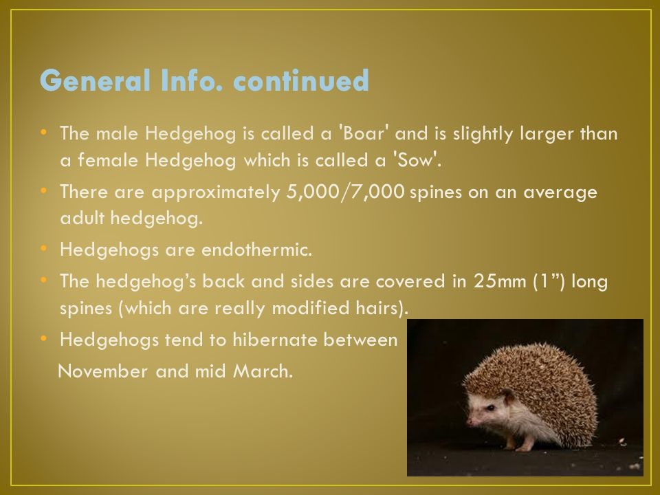 The male Hedgehog is called a Boar and is slightly larger than a female Hedgehog which is called a Sow .