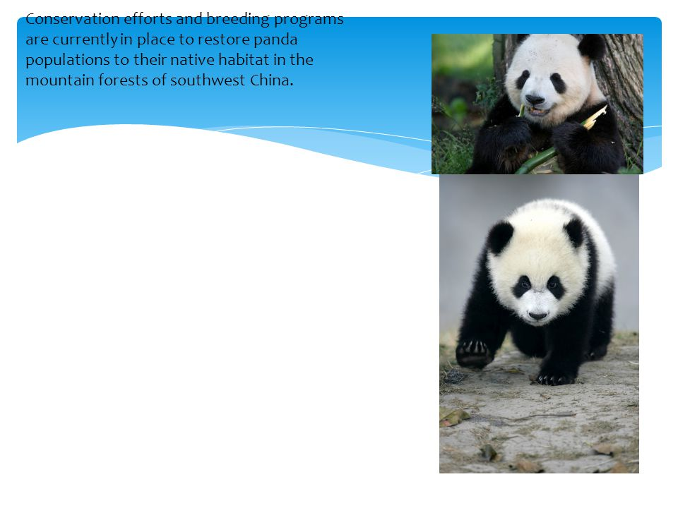 Conservation efforts and breeding programs are currently in place to restore panda populations to their native habitat in the mountain forests of sout