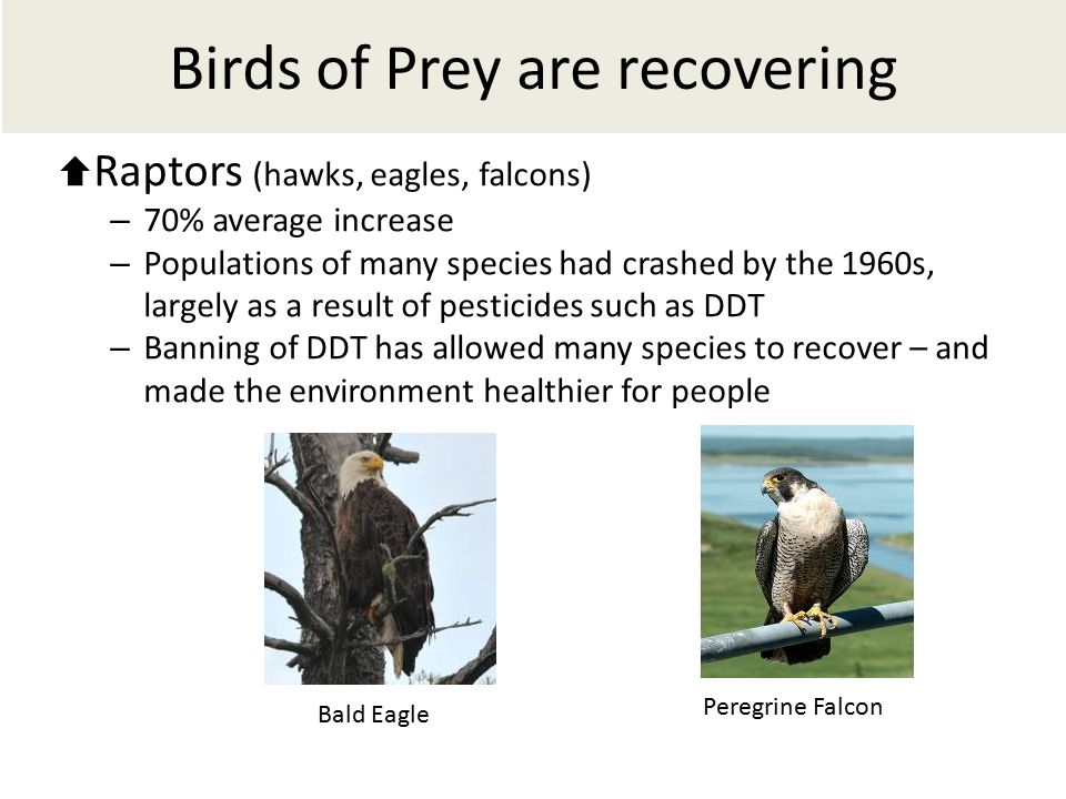  Raptors (hawks, eagles, falcons) – 70% average increase – Populations of many species had crashed by the 1960s, largely as a result of pesticides such as DDT – Banning of DDT has allowed many species to recover – and made the environment healthier for people Birds of Prey are recovering Bald Eagle Peregrine Falcon
