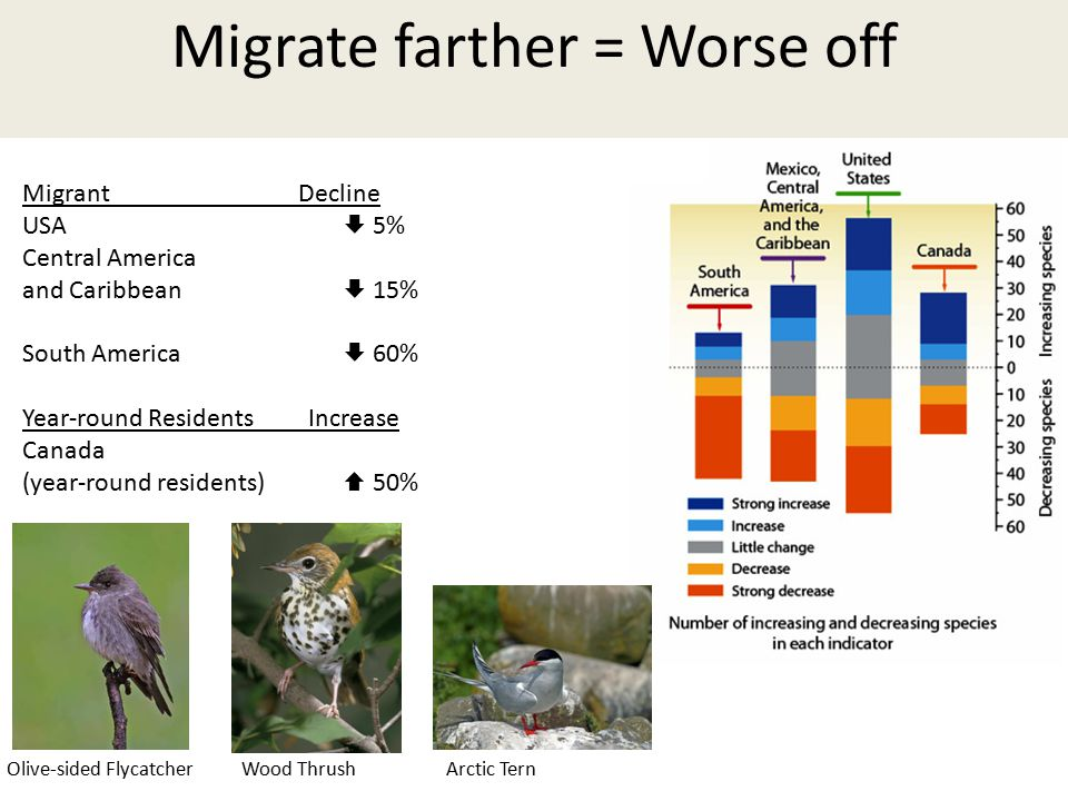 Migrant Decline USA  5% Central America and Caribbean  15% South America  60% Year-round Residents Increase Canada (year-round residents)  50% Olive-sided Flycatcher Migrate farther = Worse off Olive-sided FlycatcherArctic TernWood Thrush