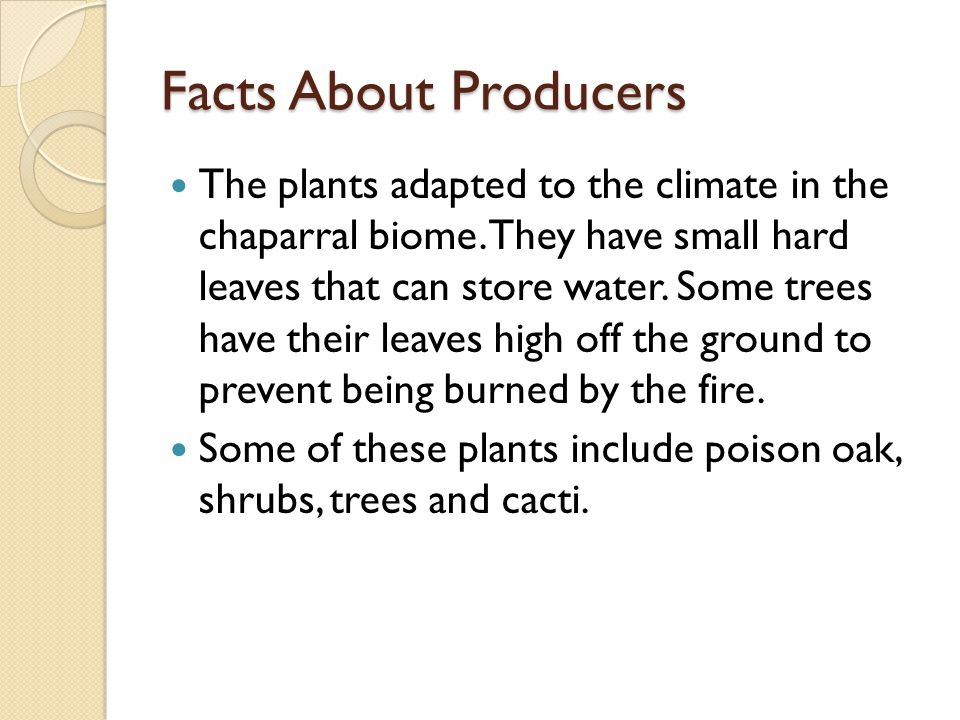 Facts About Producers The plants adapted to the climate in the chaparral biome. They have small hard leaves that can store water. Some trees have thei