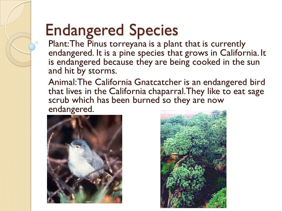 Endangered Species Plant: The Pinus torreyana is a plant that is currently endangered. It is a pine species that grows in California. It is endangered