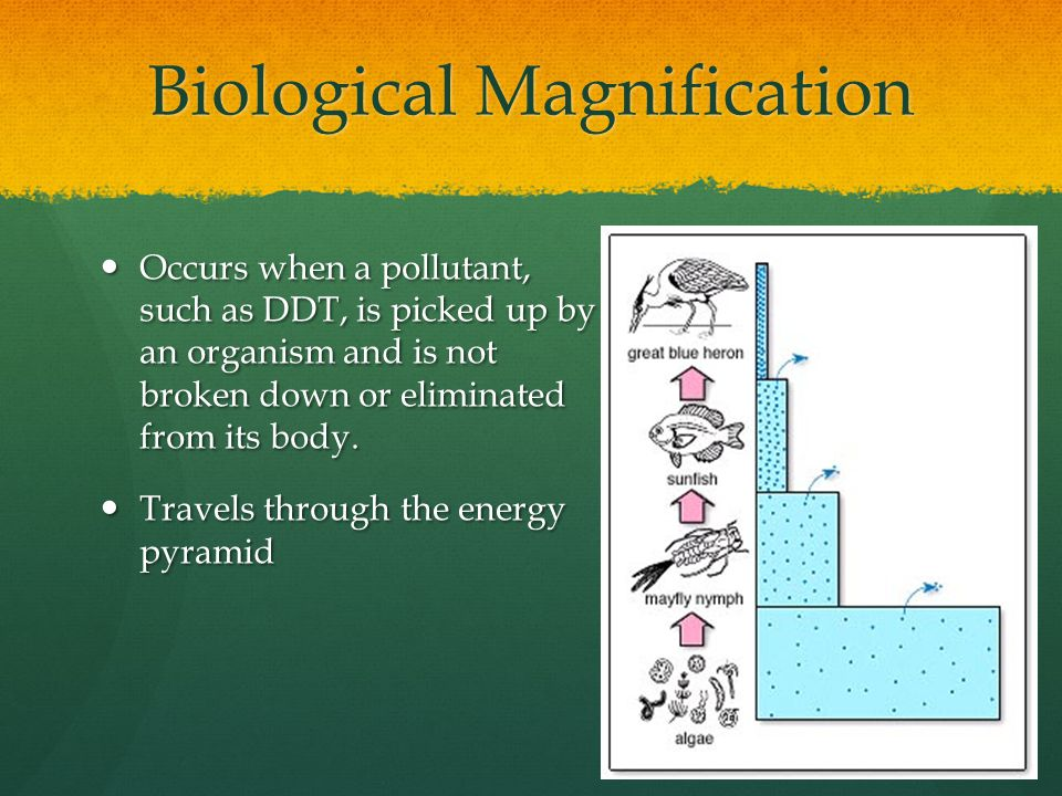 Biological Magnification Occurs when a pollutant, such as DDT, is picked up by an organism and is not broken down or eliminated from its body.