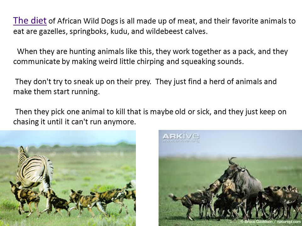 The diet The diet of African Wild Dogs is all made up of meat, and their favorite animals to eat are gazelles, springboks, kudu, and wildebeest calves.
