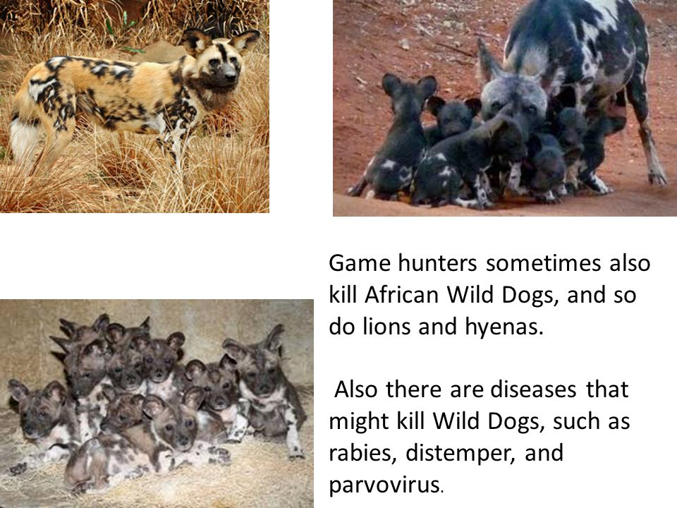Game hunters sometimes also kill African Wild Dogs, and so do lions and hyenas.