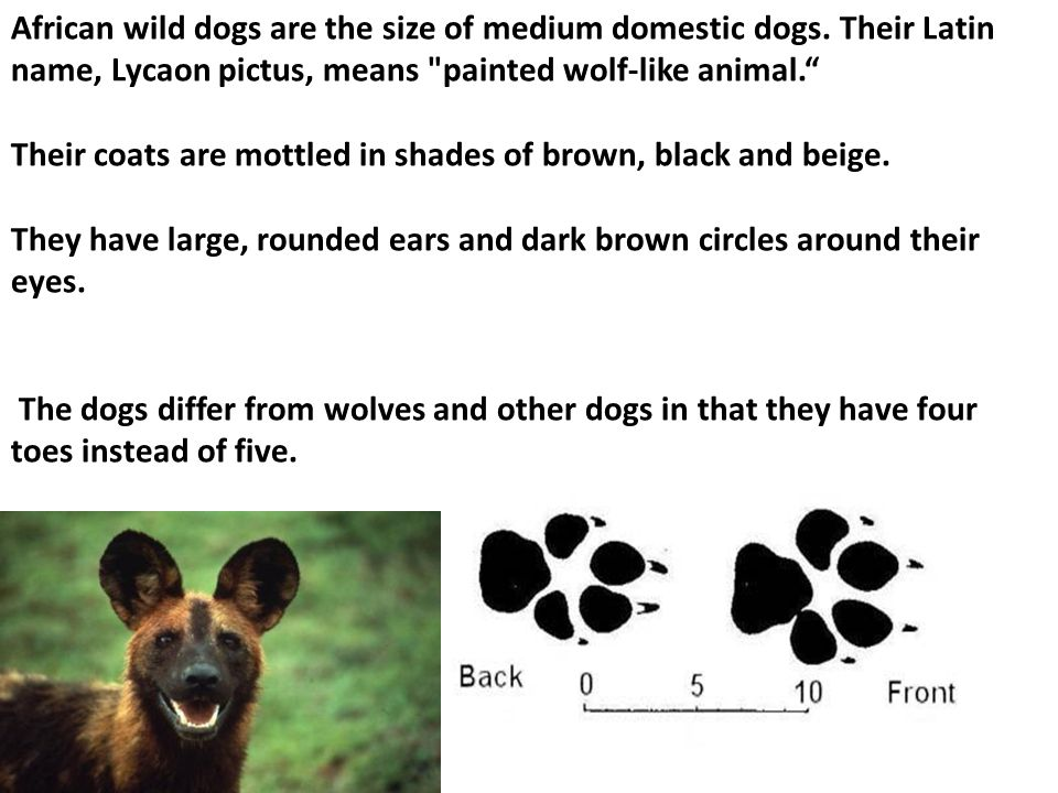 African wild dogs are the size of medium domestic dogs.