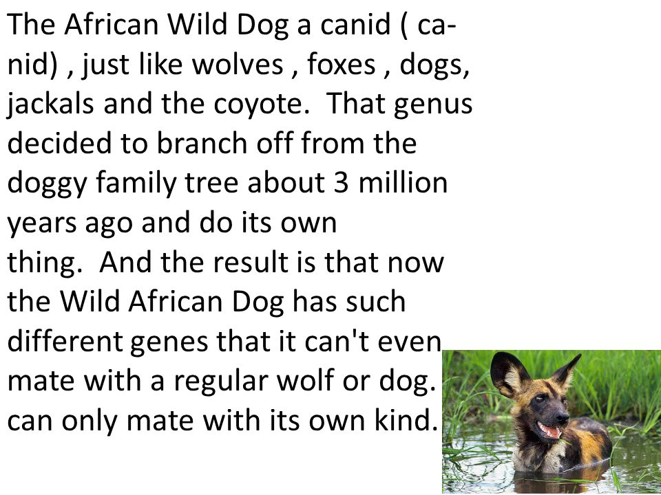 The African Wild Dog a canid ( ca- nid), just like wolves, foxes, dogs, jackals and the coyote.