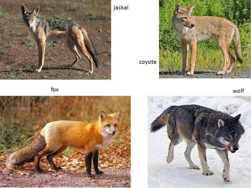 fox jackal wolf coyote