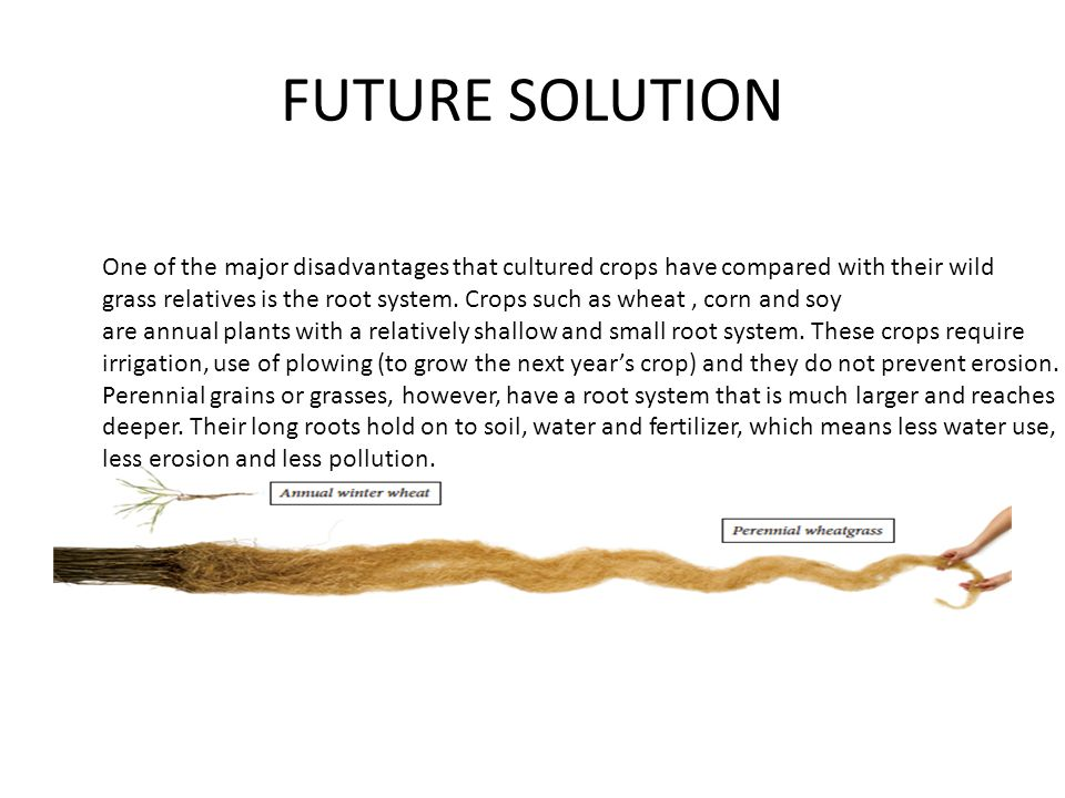 FUTURE SOLUTION One of the major disadvantages that cultured crops have compared with their wild grass relatives is the root system.