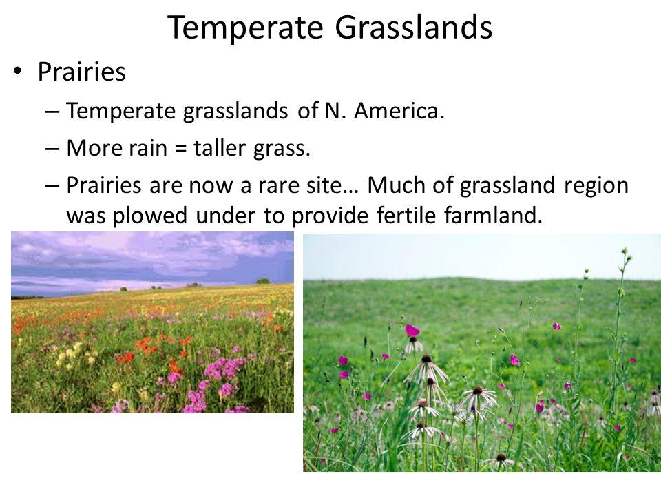 Temperate Grasslands Prairies – Temperate grasslands of N. America. – More rain = taller grass. – Prairies are now a rare site… Much of grassland regi