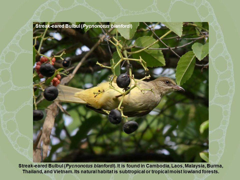 Streak-eared Bulbul (Pycnonotus blanfordi) Streak-eared Bulbul (Pycnonotus blanfordi).