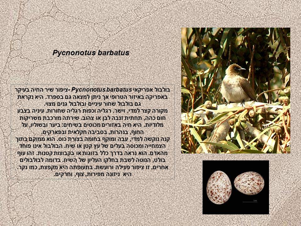 Pycnonotus barbatus בולבול אפריקאי Pycnonotus barbatus -ציפור שיר החיה בעיקר באפריקה באיזור הטרופי אך ניתן למצאה גם בספרד.