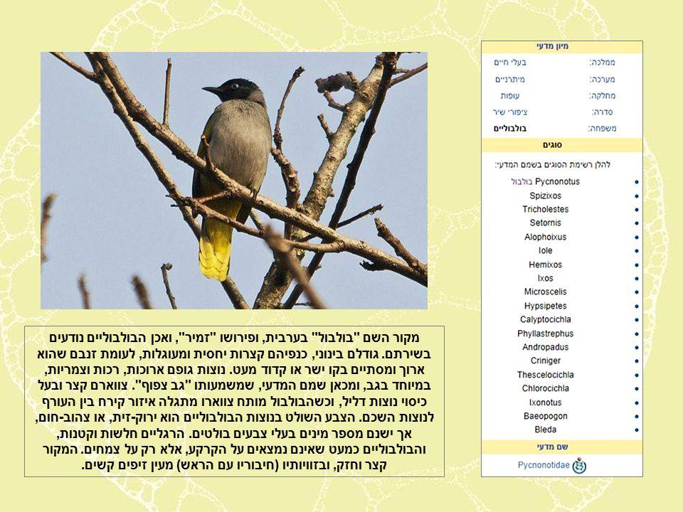 מקור השם בולבול בערבית, ופירושו זמיר , ואכן הבולבוליים נודעים בשירתם.