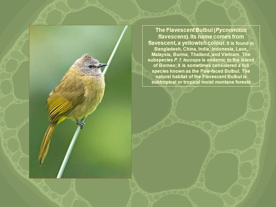 The Flavescent Bulbul (Pycnonotus flavescens). Its name comes from flavescent, a yellowish colour.