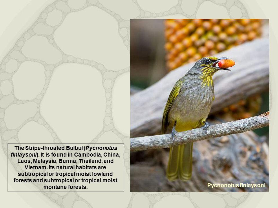Pycnonotus finlaysoni The Stripe-throated Bulbul (Pycnonotus finlaysoni).