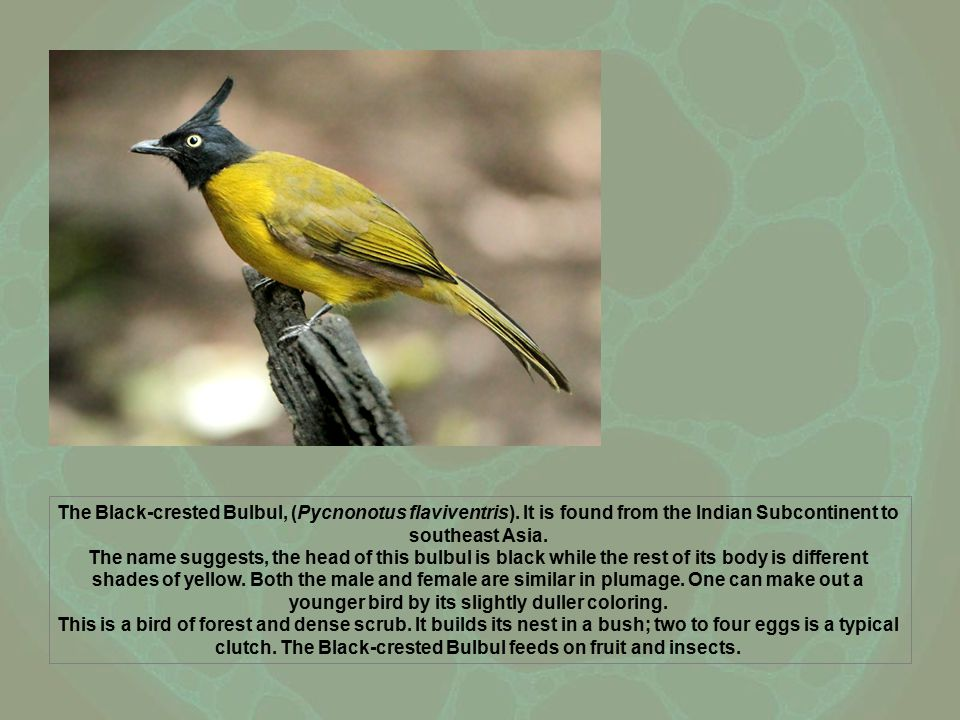 The Black-crested Bulbul, (Pycnonotus flaviventris). It is found from the Indian Subcontinent to southeast Asia. The name suggests, the head of this b