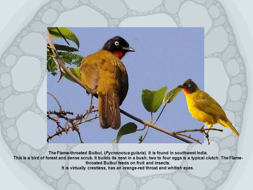 The Flame-throated Bulbul, (Pycnonotus gularis). It is found in southwest India.