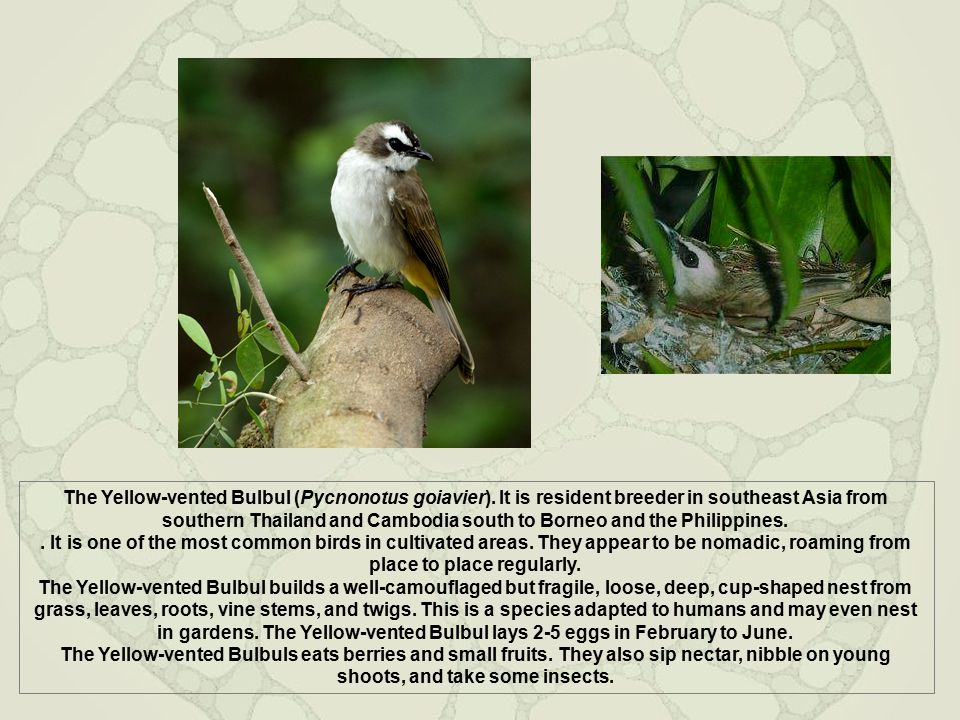 The Yellow-vented Bulbul (Pycnonotus goiavier). It is resident breeder in southeast Asia from southern Thailand and Cambodia south to Borneo and the P