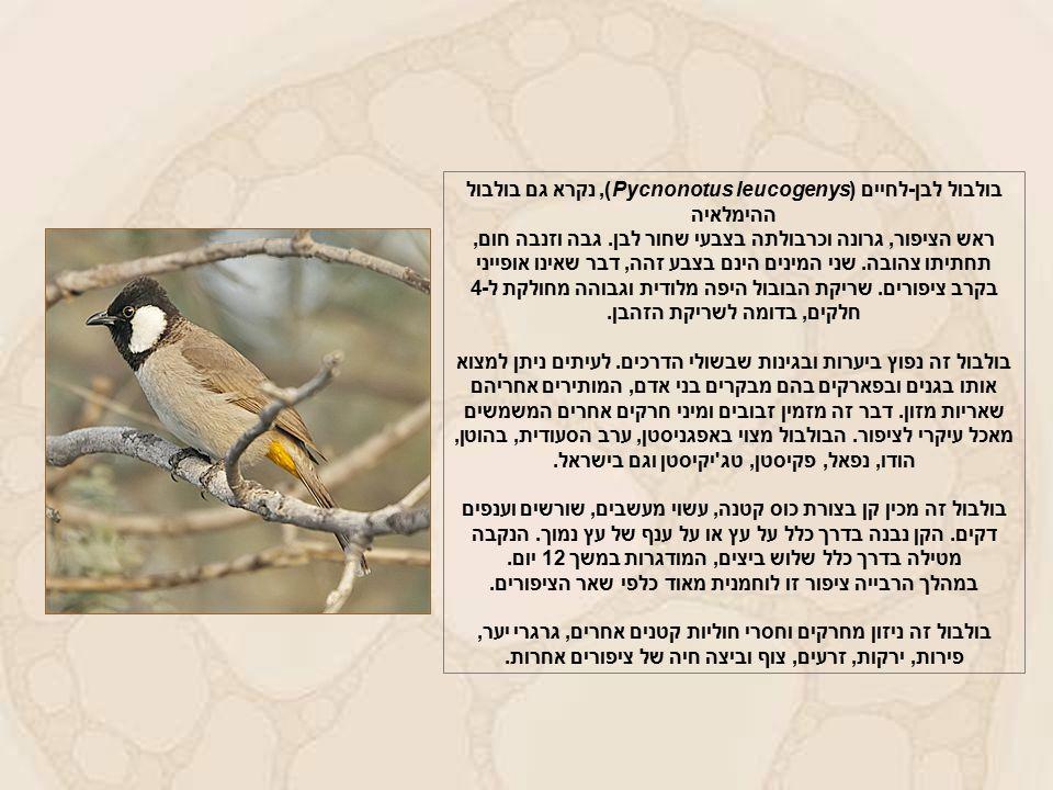 בולבול לבן-לחיים (Pycnonotus leucogenys), נקרא גם בולבול ההימלאיה ראש הציפור, גרונה וכרבולתה בצבעי שחור לבן.
