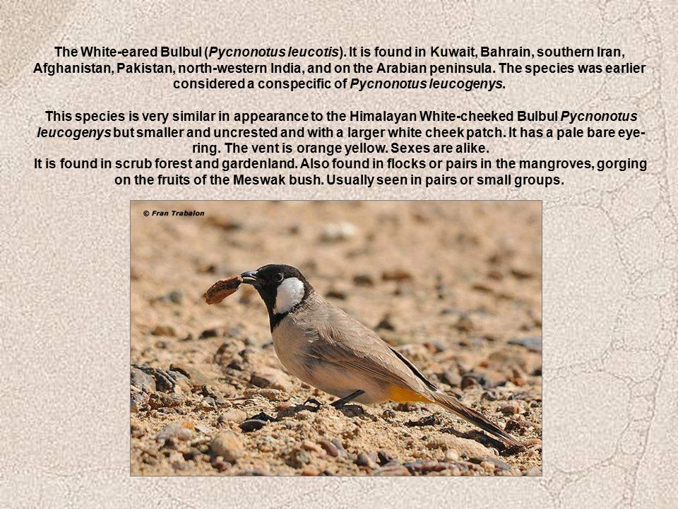 The White-eared Bulbul (Pycnonotus leucotis). It is found in Kuwait, Bahrain, southern Iran, Afghanistan, Pakistan, north-western India, and on the Ar