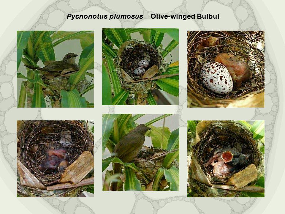 Olive-winged Bulbul Pycnonotus plumosus