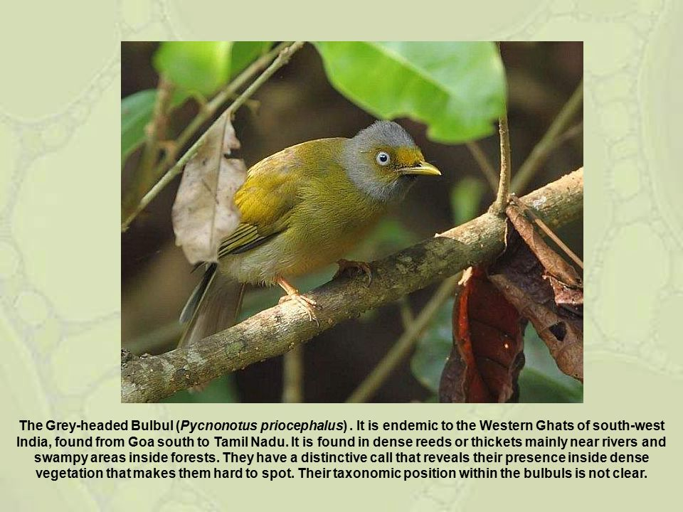 The Grey-headed Bulbul (Pycnonotus priocephalus). It is endemic to the Western Ghats of south-west India, found from Goa south to Tamil Nadu. It is fo