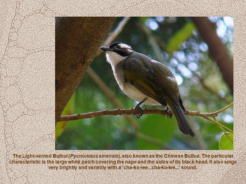 The Light-vented Bulbul (Pycnonotus sinensis), also known as the Chinese Bulbul.