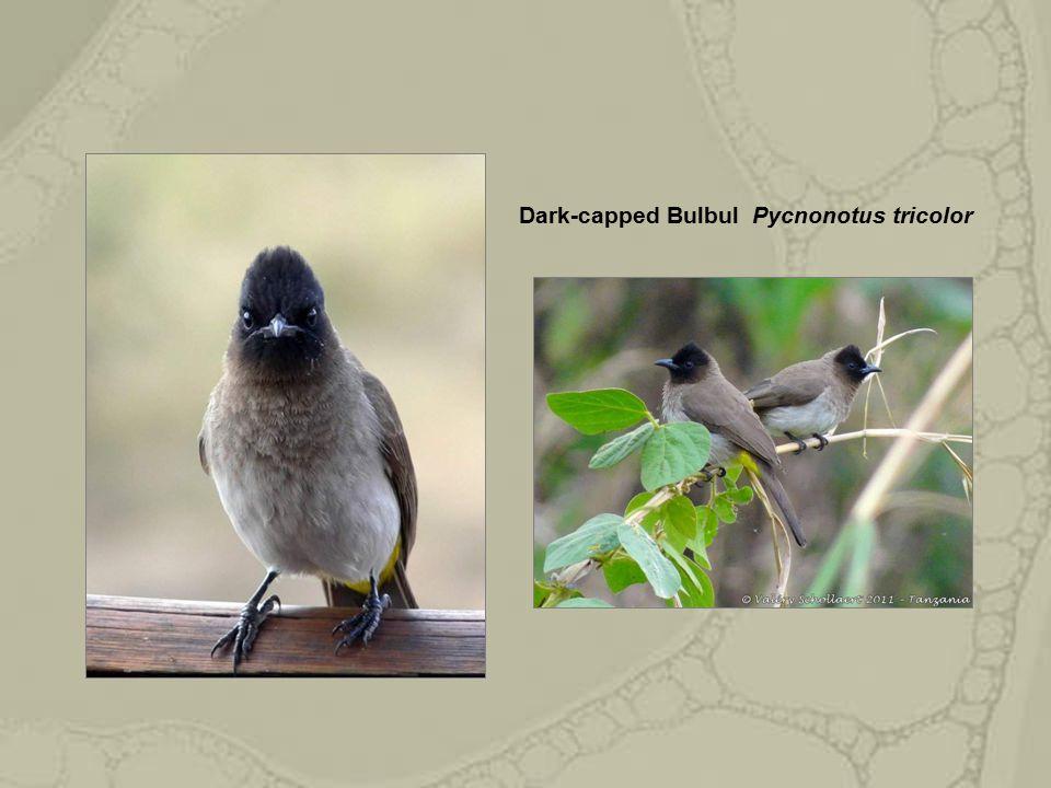Dark-capped Bulbul Pycnonotus tricolor