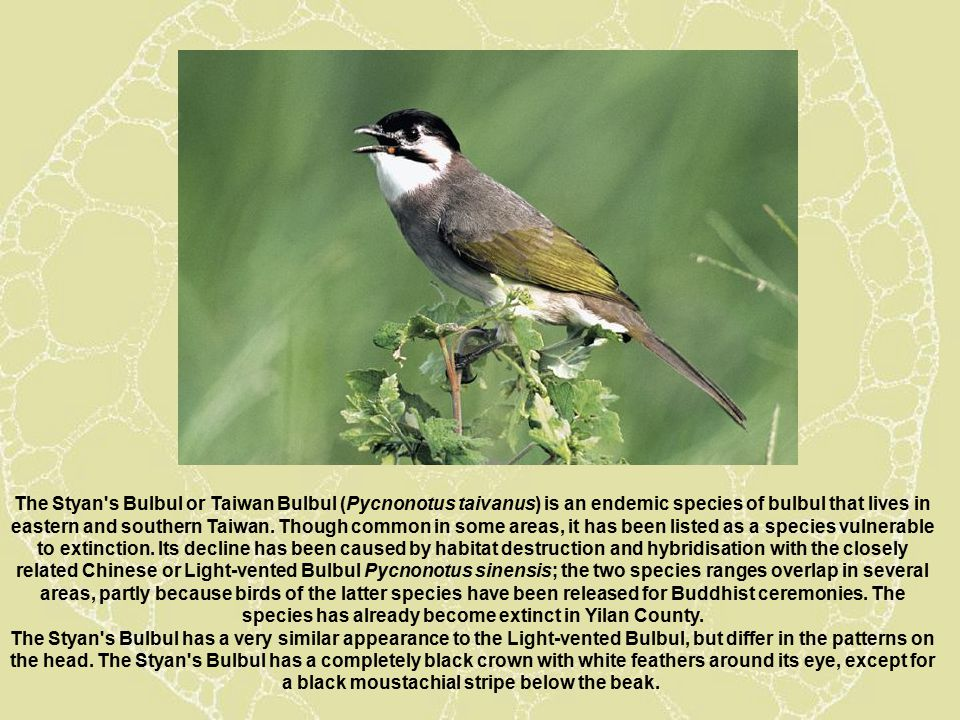 The Styan s Bulbul or Taiwan Bulbul (Pycnonotus taivanus) is an endemic species of bulbul that lives in eastern and southern Taiwan.