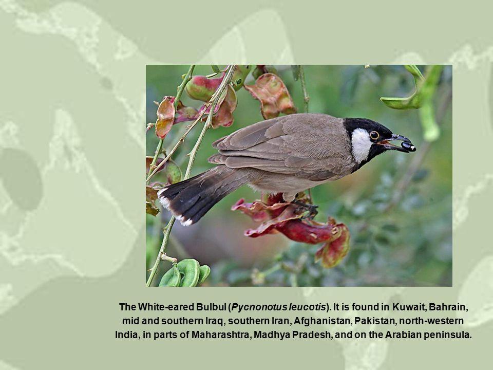 Pycnonotus tricolor Dark-capped bulbul, Black-eyed bulbul הקוקייה הטילה ביצה בקן של בולבול שלושת-הצבעים