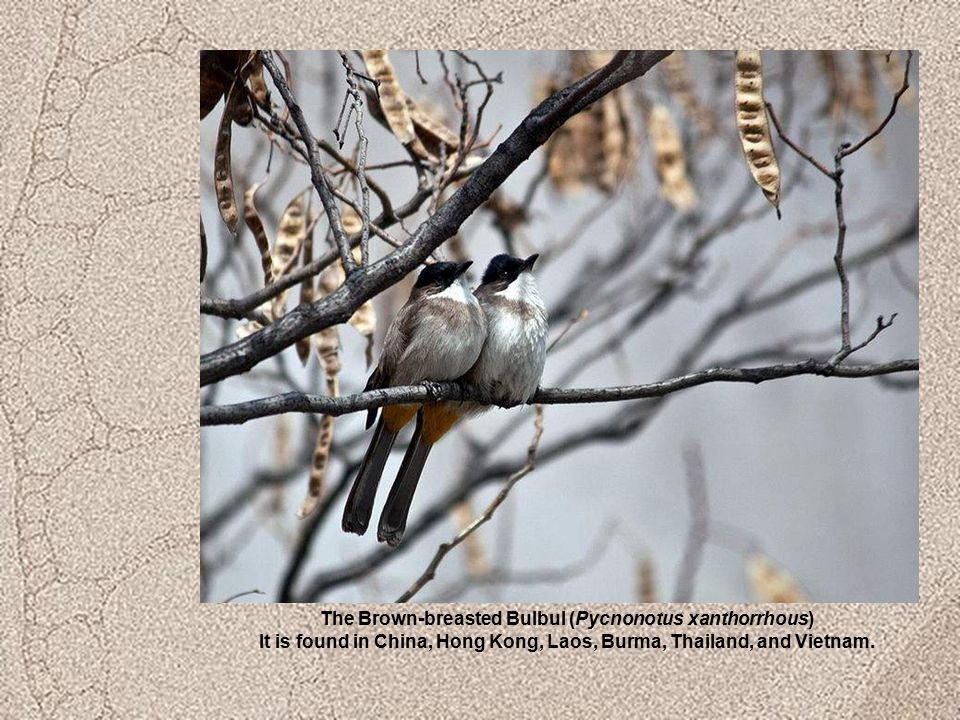 The Brown-breasted Bulbul (Pycnonotus xanthorrhous) It is found in China, Hong Kong, Laos, Burma, Thailand, and Vietnam.