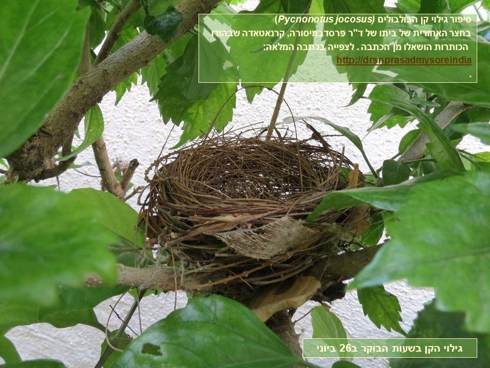 (Pycnonotus jocosusסיפור גילוי קן הבולבולים ( בחצר האחורית של ביתו של ד ר פרסדבמיסורה, קרנאטאדה שבהודו הכותרות הושאלו מן הכתבה.
