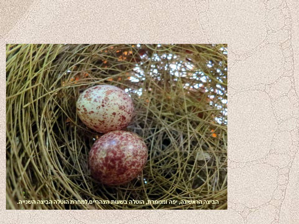 הביצה הראשונה, יפה ומנומרת, הוטלה בשעות הצהריים,למחרת הוטלה הביצה השנייה.
