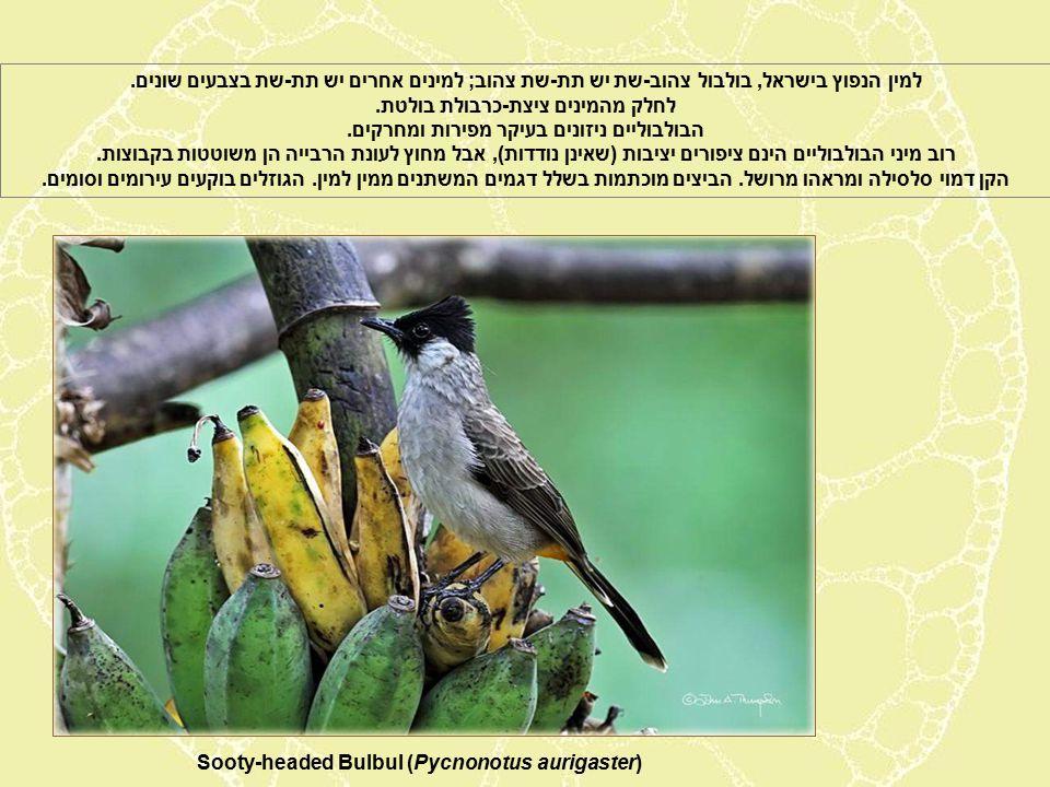 Sooty-headed Bulbul (Pycnonotus aurigaster) למין הנפוץ בישראל, בולבול צהוב-שת יש תת-שת צהוב; למינים אחרים יש תת-שת בצבעים שונים.