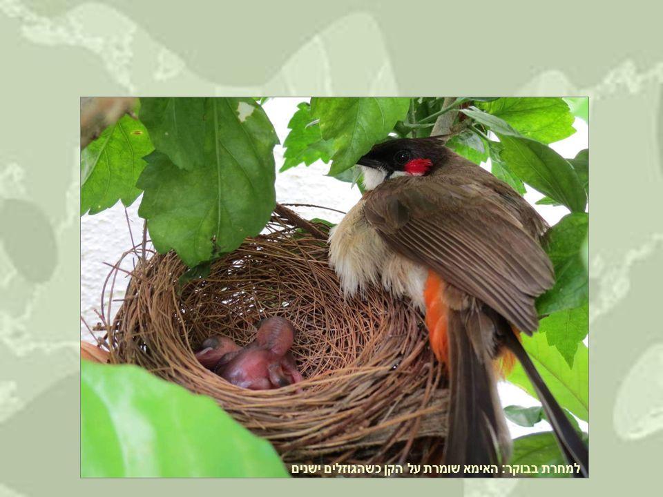 למחרת בבוקר: האימא שומרת על הקן כשהגוזלים ישנים